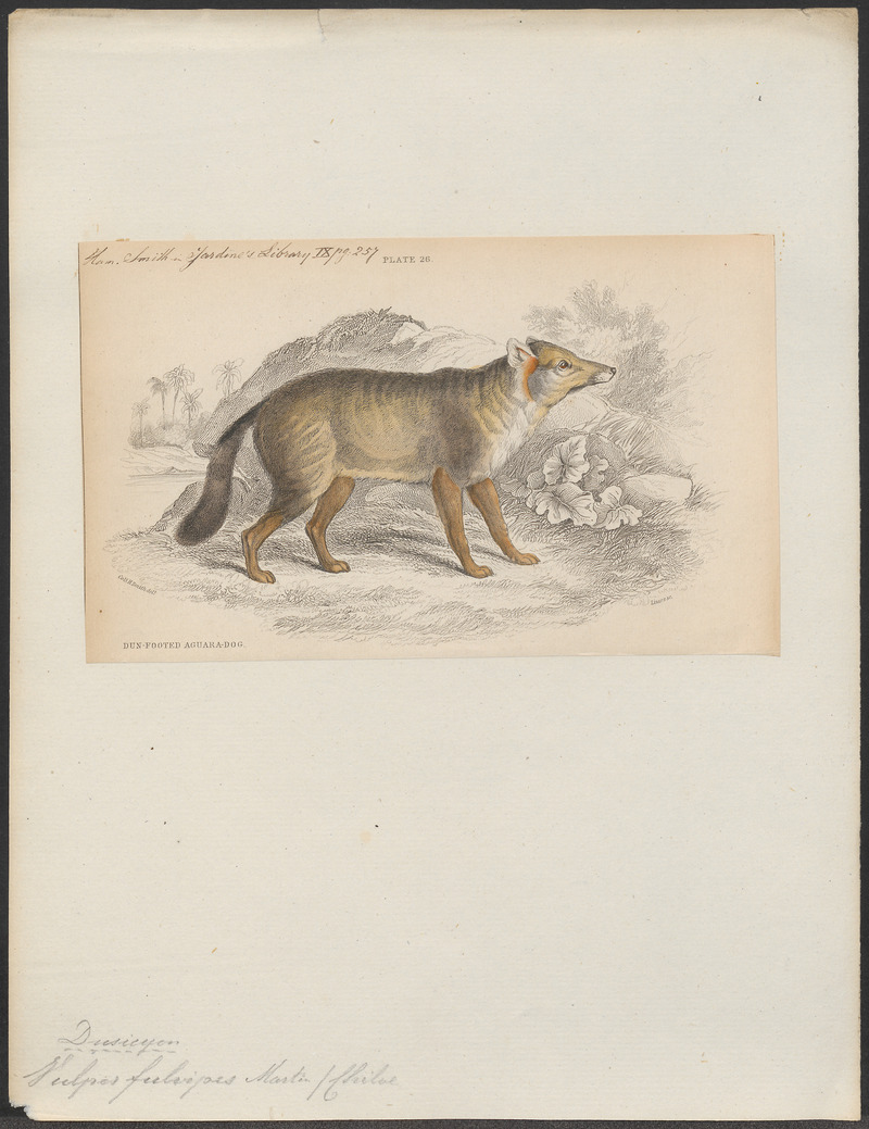 Vulpes fulvipes - 1833-1866 - Print - Iconographia Zoologica - Special Collections University of Amsterdam - UBA01 IZ22200317.jpg