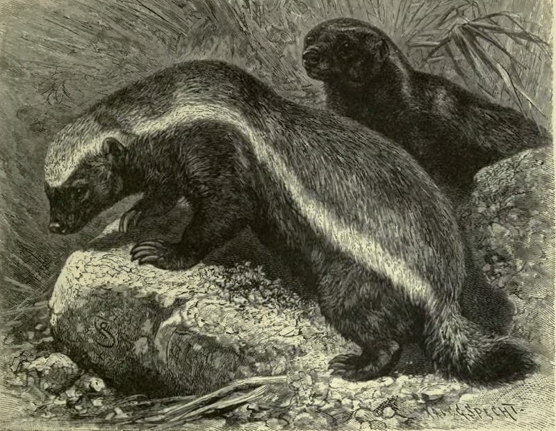 honey badger, ratel (Mellivora capensis); DISPLAY FULL IMAGE.