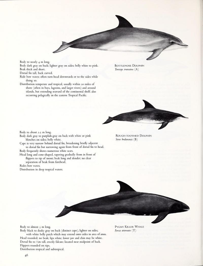 cetaceansofchan00leat 0052.jpg