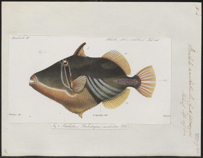 Picasso fish, lagoon triggerfish (Rhinecanthus aculeatus); DISPLAY FULL IMAGE.