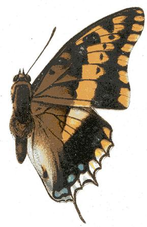 two-tailed pasha (Charaxes jasius); Image ONLY