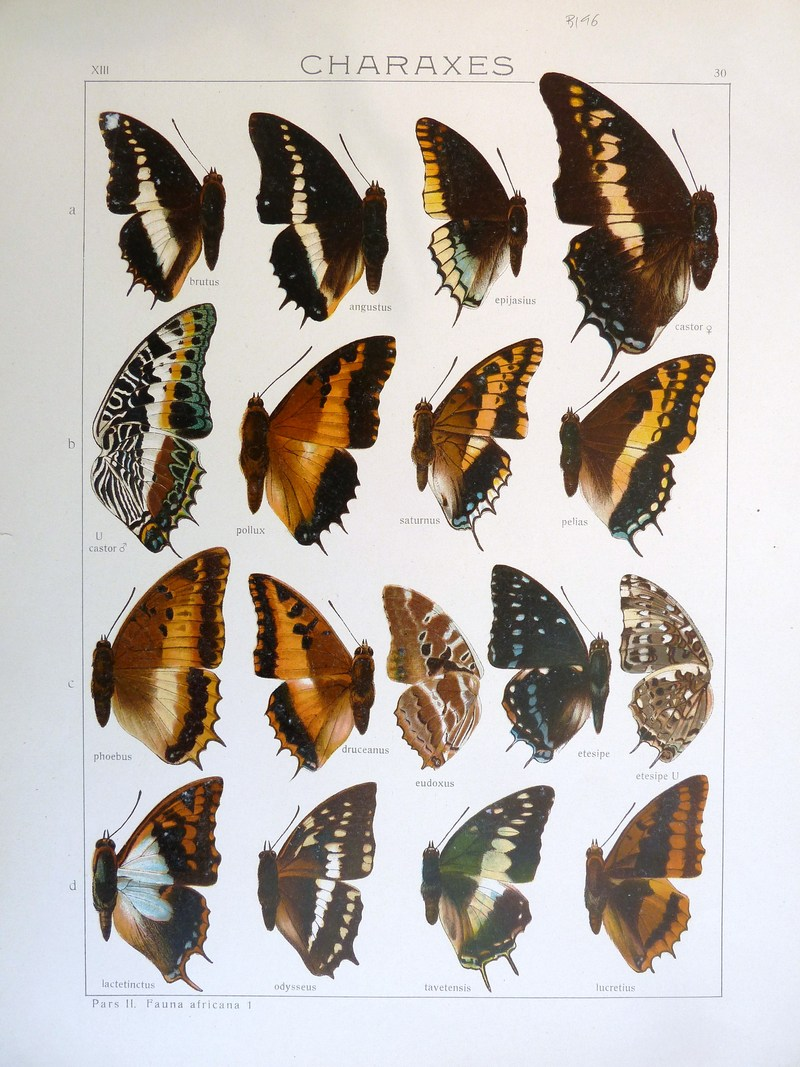 white-barred emperor (Charaxes brutus), two-tailed pasha (Charaxes jasius), giant emperor (Charaxes castor), black-bordered charaxes (Charaxes pollux), Charaxes jasius saturnus, Charaxes phoebus, silver-barred emperor (Charaxes druceanus), Eudoxus charaxes (Charaxes eudoxus), scarce forest emperor (Charaxes etesipe), blue patch charaxes (Charaxes lactetinctus), Charaxes odysseus, violet-washed charaxes (Charaxes lucretius); DISPLAY FULL IMAGE.