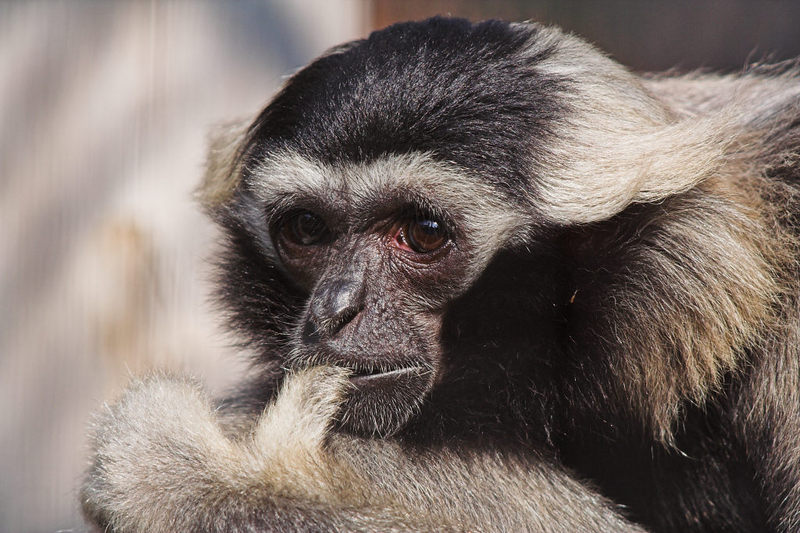 pileated gibbon (Hylobates pileatus); DISPLAY FULL IMAGE.