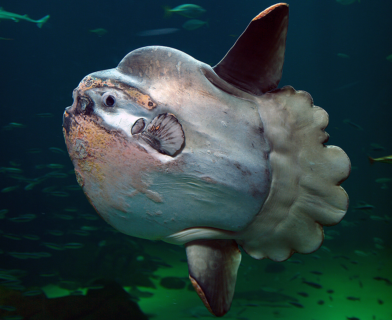 ocean sunfish, common mola (Mola mola); Image ONLY
