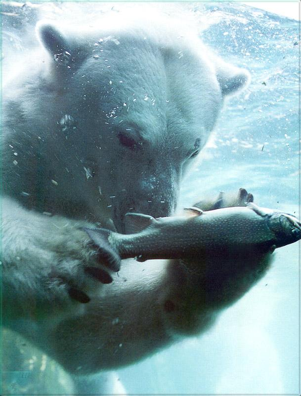 Phoenix Rising Jungle Book 005 - Polar Bear (fishing in water); Image ONLY