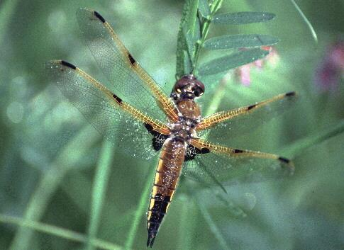 Dragonfly; Image ONLY