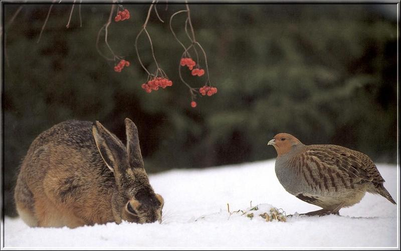 Rabbit and Partridge; DISPLAY FULL IMAGE.