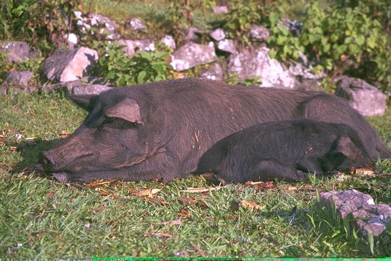 img0058-black Pigs.jpg