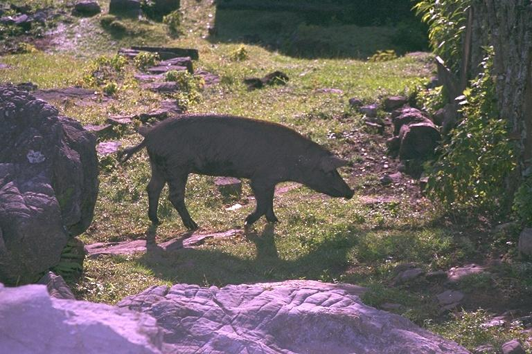img0065-black Pigs.jpg