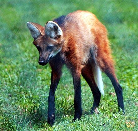 Maned Wolf; Image ONLY