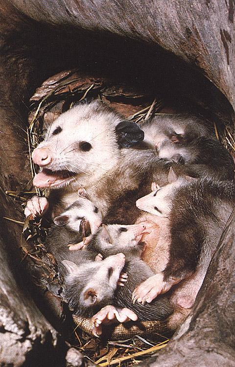 Virginia Opossum (Didelphis virginiana) Family; Image ONLY