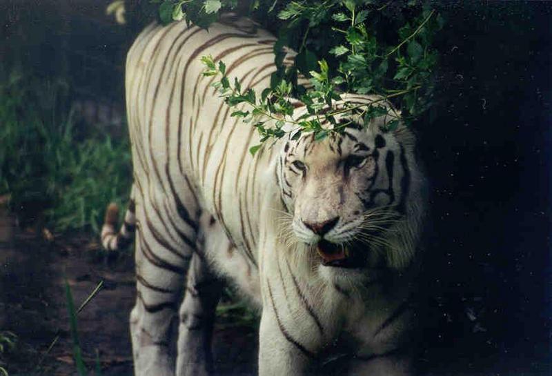 SY Tiger Jacksonville Zoo02.jpg