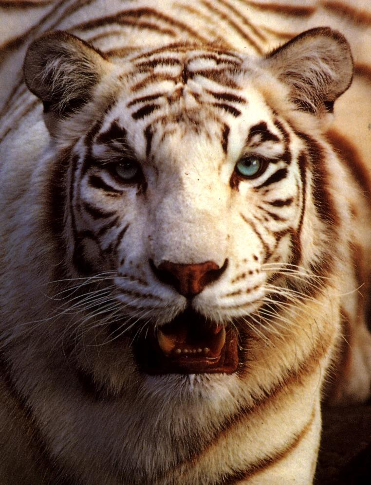 tiger white05a-White Tiger-snarling face closeup.jpg