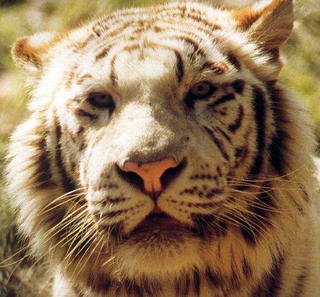 tiger 1-White Bengal Tiger.jpg