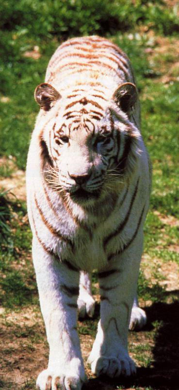 tiger 2-White Bengal Tiger.jpg