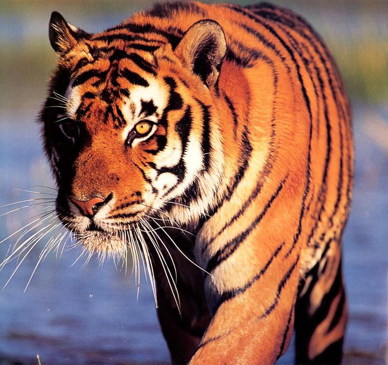Tiger Calendar 2001 - 01; DISPLAY FULL IMAGE.
