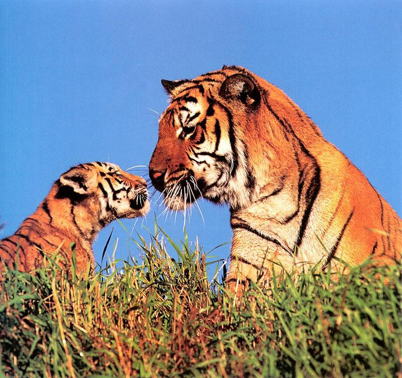 Tiger Calendar 2001 - 02; DISPLAY FULL IMAGE.