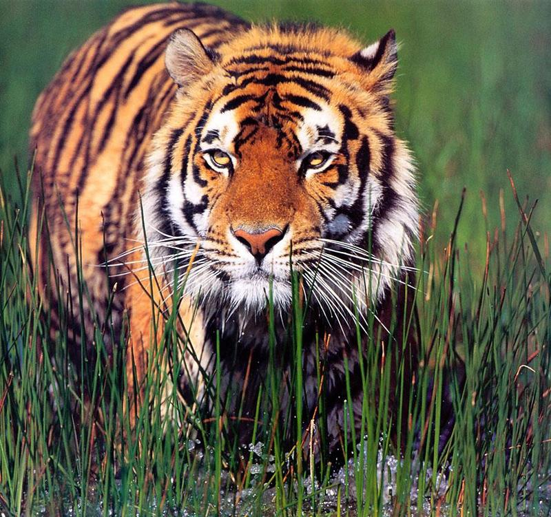 Tiger Calendar 2001 - 07; DISPLAY FULL IMAGE.