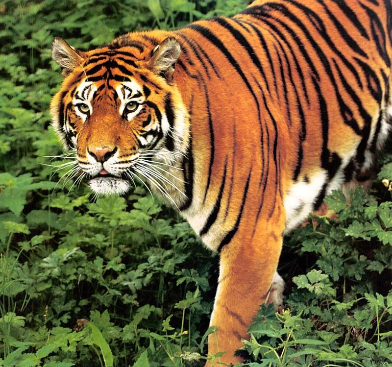Tiger Calendar 2001 - 09; DISPLAY FULL IMAGE.