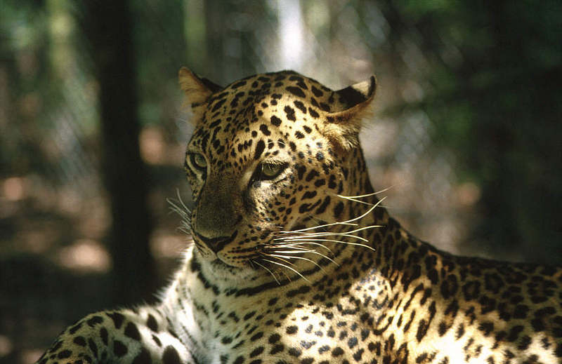 Wildlife on Easy Street - African Spotted Leopard; DISPLAY FULL IMAGE.