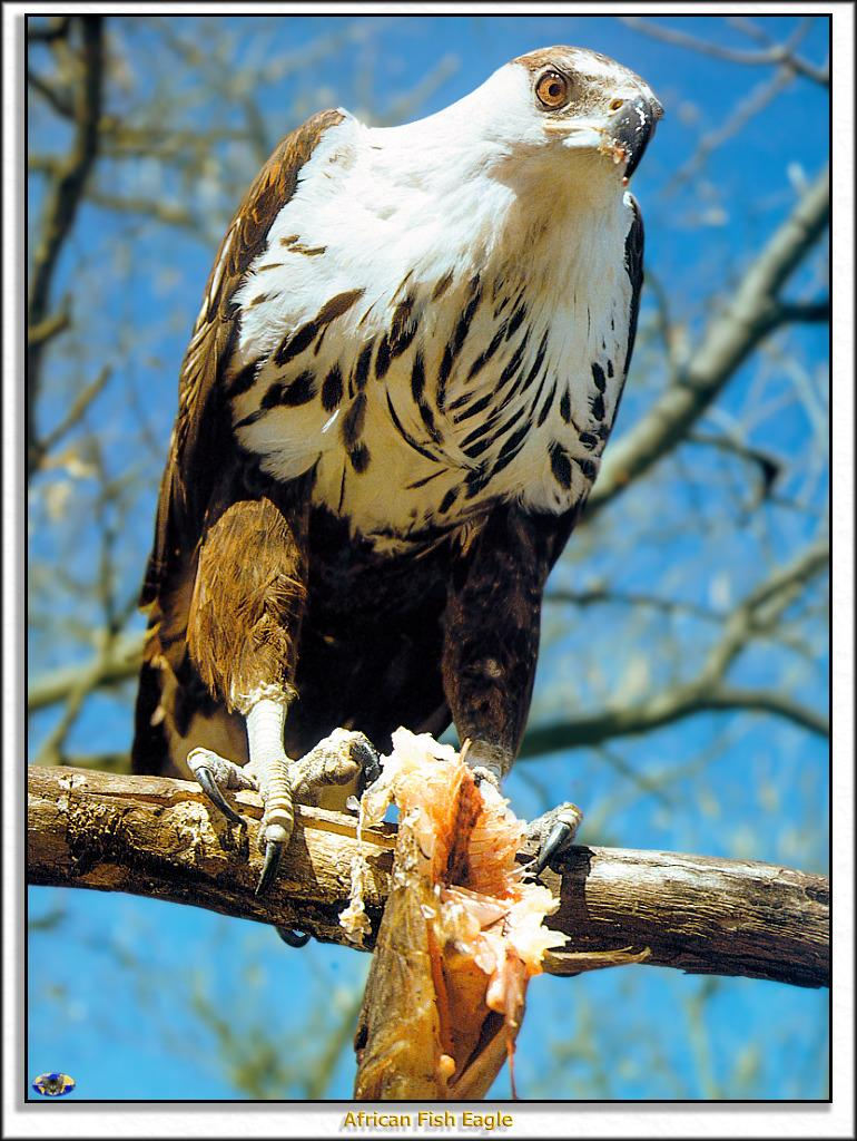 African Fish Eagle (Haliaeetus vocifer) perched with prey; Image ONLY