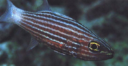 Wrasse with stripes; Image ONLY