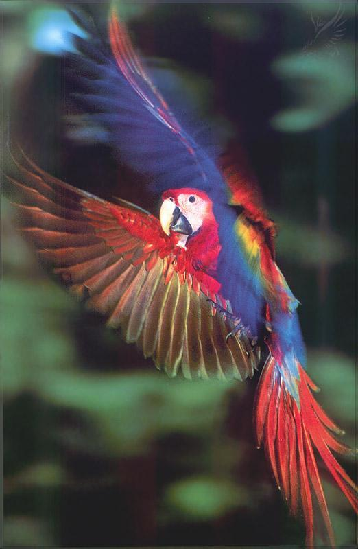 Phoenix Rising Jungle Book 073 - Scarlet Macaw in flight; Image ONLY