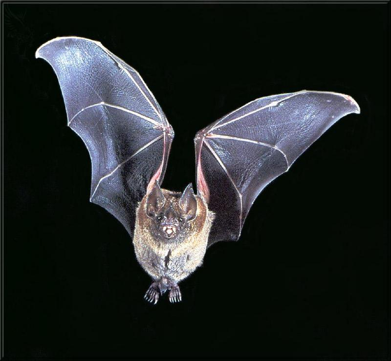 Phoenix Rising Jungle Book 084 - Short-tailed Leaf-nosed Bat; DISPLAY FULL IMAGE.
