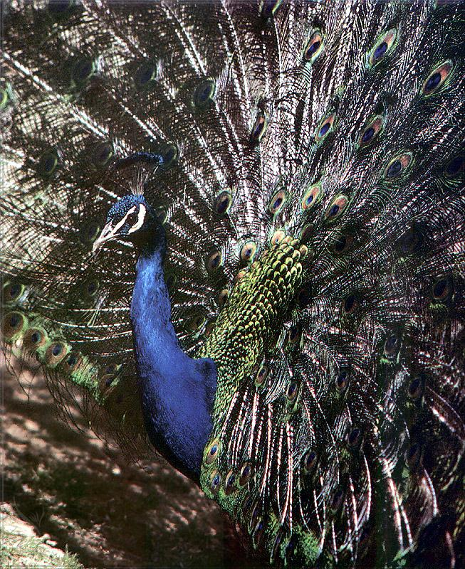 Phoenix Rising Jungle Book 088 - Indian Peafowl (peacok); Image ONLY