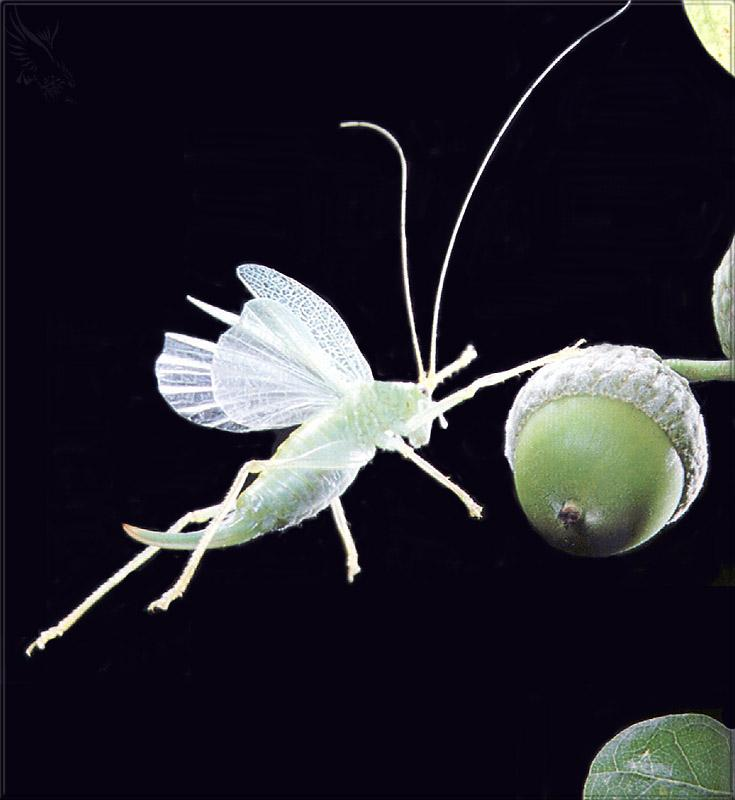 Phoenix Rising Jungle Book 092 - Oak Bush Cricket in flight; Image ONLY