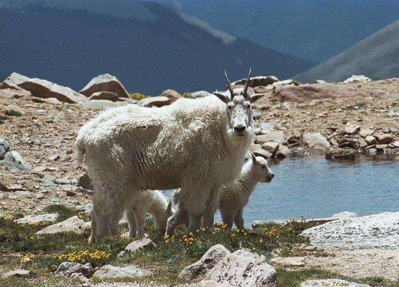 Rocky Mountain Goats; DISPLAY FULL IMAGE.