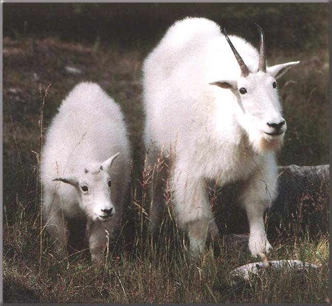 Rocky Mountain Goats - mom and lamb; Image ONLY