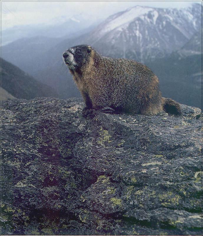 Phoenix Rising Jungle Book 136 - Yellow-bellied Marmot; Image ONLY