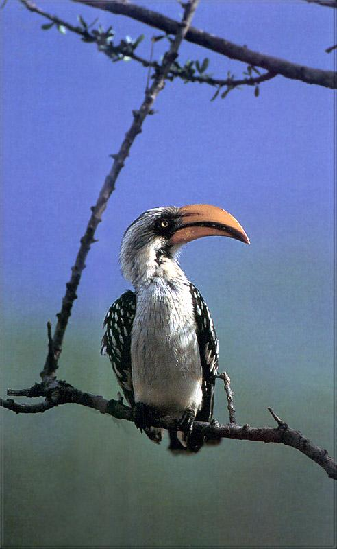 Phoenix Rising Jungle Book 167 - Yellow-billed Hornbill; Image ONLY
