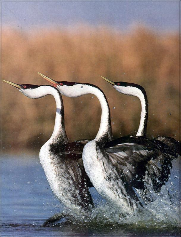 Phoenix Rising Jungle Book 170 - Western Grebe trio marching; Image ONLY