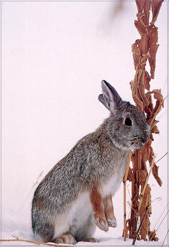 Phoenix Rising Jungle Book 187 - Mountain Cottontail Rabbit; Image ONLY