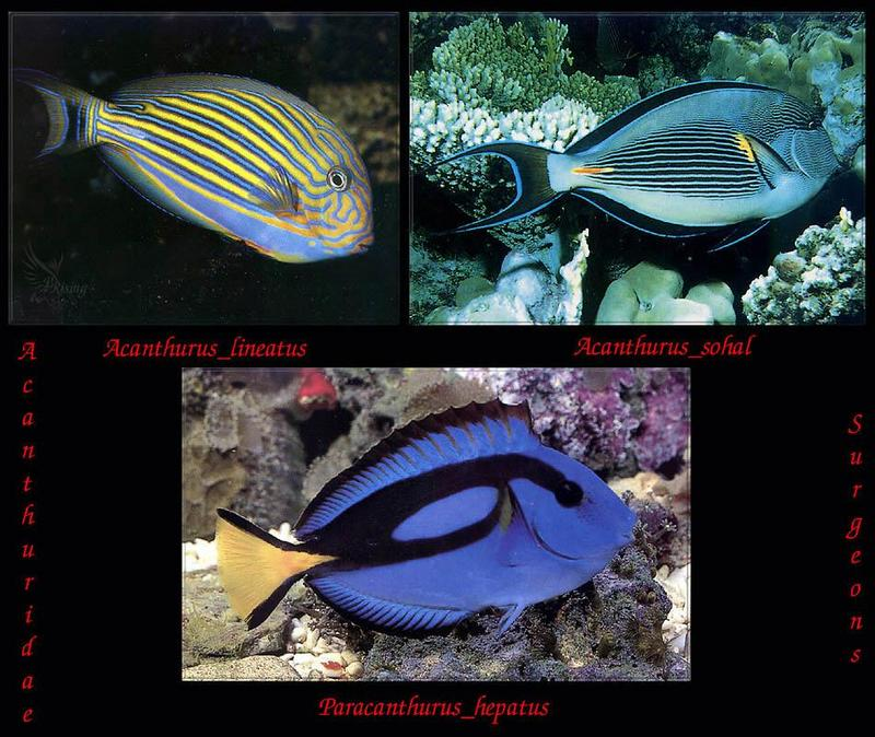 Phoenix Rising Jungle Book 188 - Surgeonfish photos; DISPLAY FULL IMAGE.