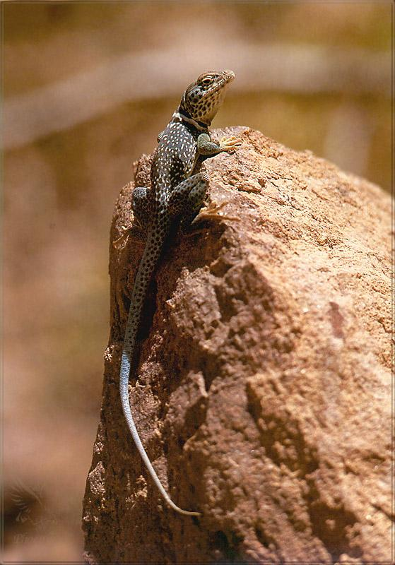 Phoenix Rising Jungle Book 212 - Collared Lizard; Image ONLY