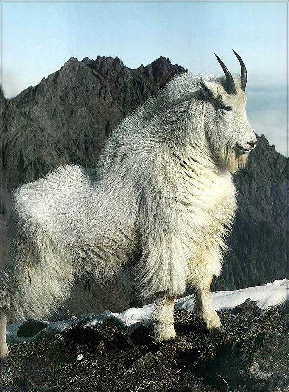 Phoenix Rising Jungle Book 233 - Rocky Mountain Goat; Image ONLY