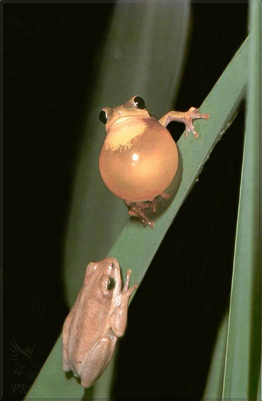 Phoenix Rising Jungle Book 243 - African Brown Treefrog pair; Image ONLY