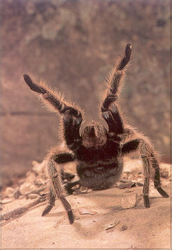 Phoenix Rising Jungle Book 253 - Hairy Tarantula; Image ONLY