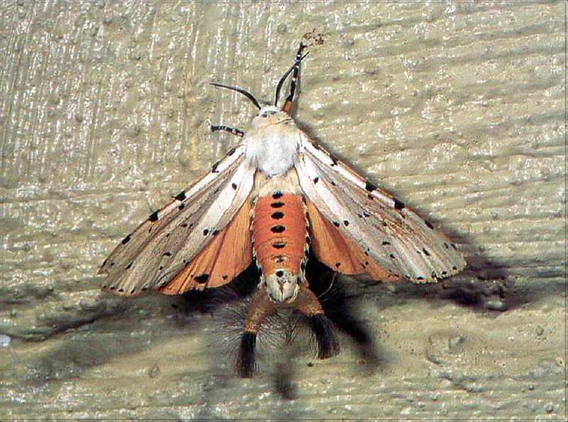 Phoenix Rising Jungle Book 263 - Acraea Moth; DISPLAY FULL IMAGE.