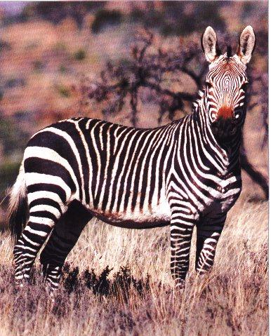 Mountain Zebra; Image ONLY