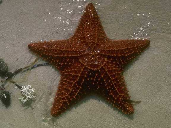 Starfish (Sea Star) <!--불가사리-->; Image ONLY