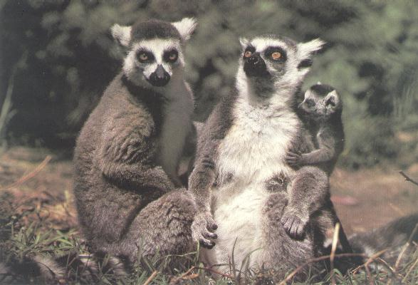 Ring-tailed Lemur <!-- 알락꼬리여우원숭이 -->; Image ONLY