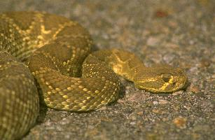 Red Diamond Rattlesnake <!-- 붉은다이아몬드방울뱀 -->; Image ONLY