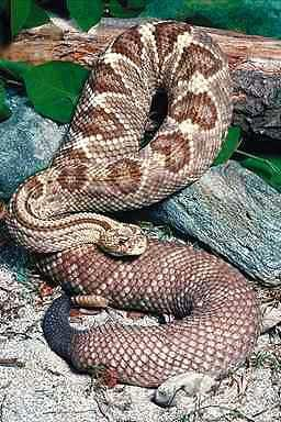 Tropical Rattlesnake <!-- 열대방울뱀 -->; Image ONLY