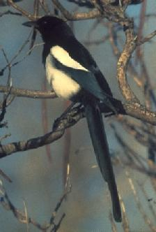 Black-billed Magpie <!--까치 -->; Image ONLY