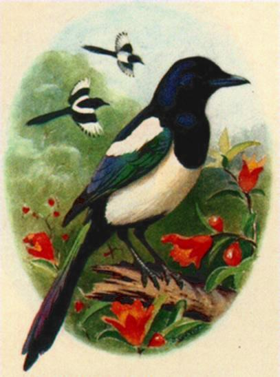 [Bird Painting] Black-billed Magpie <!--까치 -->; Image ONLY