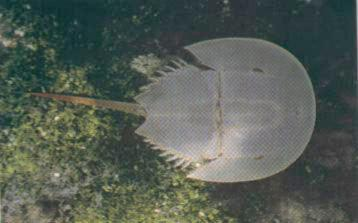 Horseshoe Crab <!--투구게--> : dorsal view; Image ONLY